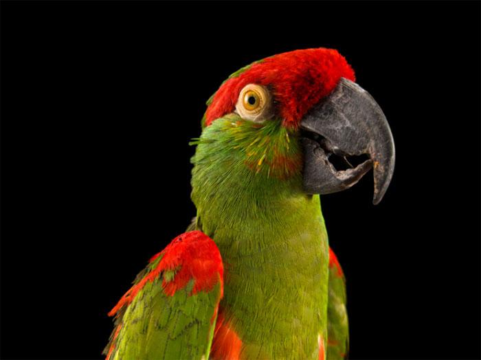 pappagallo beccospesso