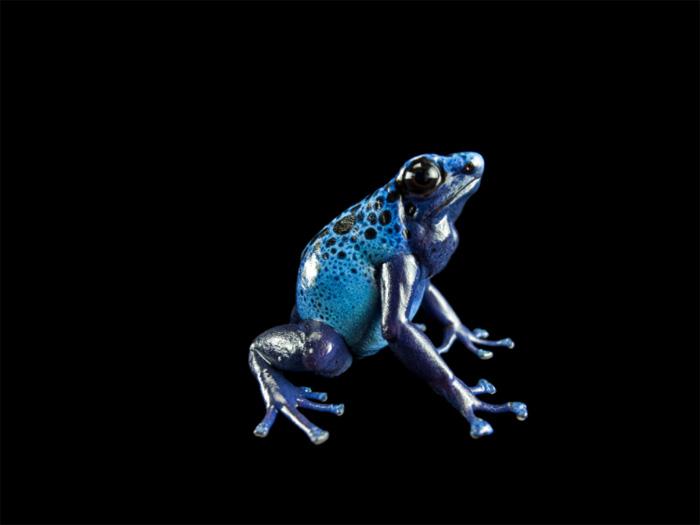 rana dardo blu